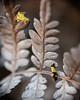 Camouflage (M Hooper) Tags: jenniferstreet concealermoth sydney wattle little bay oecophoridae