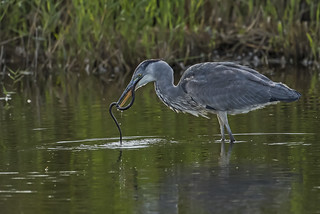 Heron - Anyone for snake?