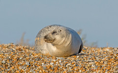 JWL8007  Common Seal.. (jefflack Wildlife&Nature) Tags: commonseal seal animal mammal seashore sea countryside coastal norfolk blakeney