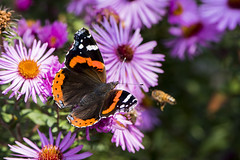 me first (husiphoto) Tags: animal tier admiral schmetterling insekt edelfalter biene natur bee nature butterfly insect vanessa atalanta red