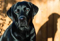 31/52 365 (d2roberts) Tags: 52weeksfordogs 3152 dunkel blacklab blacklabrador dog shadows