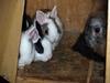 5 (Protty coniglio nano) Tags: coniglio conigli protty bunny bunnies rabbit rabbits kaninchen lapin coniglietti coniglionano prottyit coniglinani oryctolagus oryctolaguscuniculus