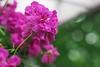 Ivy geranium (Yorkey&Rin) Tags: 2017 7月 em5markii flower ivygeranium japan july macro nagano olympus olympusm60mmf28macro rin sugadaira summer ua250084 アイビーゼラニューム マクロ 夏 菅平 長野県
