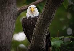 My Domain... (DTT67) Tags: 14xtc 500mm 5dmkiv canon raptor bird wildlife nature american eagle baldeagle