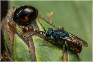 Wasp and Ladybird