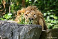 I ...see ..you (DirkVandeVelde on and off) Tags: europa europ europe belgie belgium belgique belgica buiten biologie antwerpen anvers animalia antwerp animal mechelen malines malinas muizen mammalia zoo zoogdieren carnivora vleeseter roofdieren planckendael lion leeuw predators fauna