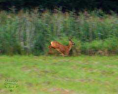 Escape (Jurek.P) Tags: roedeer animals wildnature mazury masuria poland polska sarna jurekp sonya77
