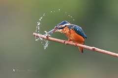 Martin Pêcheur (MalcedoP) Tags: nature kingfisher alcedoatthis