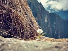 Machu Picchu, Peru (hayleyulle) Tags: peru machupicchu dandelion wish mountains straw explore dream closeup focus