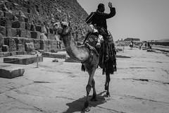 Egyptian Camel Rider. (Livia Lopez) Tags: egypt giza cairo pyramids travel camel desert blackandwhite bw blancoynegro noiretblanc man sand egipto piramídes viajar camello desierto hombre arena monocromo fotografia gente