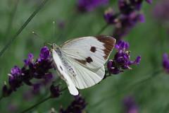 Grosser Kohlweißling (Aah-Yeah) Tags: grosser kohlweissling kohlweisling large white pieris brassicae schmetterling butterfly tagfalter marquartstein achental chiemgau bayern