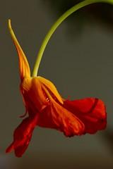 Bowing nasturtium (AngharadW) Tags: dof shadow goldenhour yellow stem green orange nasturtium angharadw macro flower