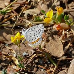 Plebejus acmon, ACMON BLUE (openspacer) Tags: acmonblue butterfly fabaceae insect jasperridgebiologicalpreserve jrbp lotus nonnative plebjus trefoil