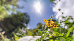 A sunny encounter... (.: mike | MKvip Beauty :.) Tags: sony⍺7markii sony⍺7ii sonyilce7m2 sonyalpha sony alpha emount ⍺7ii ilce7m2 irixfirefly15mmƒ24 irixfirefly irix ultrawideangle rectalinear lowdistortion primelens prime manualexposure manual macro makro wideanglemacro handheld ibis availablelight naturallight backlight backlighting sun shallowdof bokeh bokehlicious beyondbokeh extremebokeh smoothbokeh flare lensflare dreamy soft zen nature green orange yellow leaf leaves animal insect butterfly silverwashedfritillary lepidoptera argynnispaphia insekt schmetterling kaisermantel summer hagenbach germany europe mth mkvip ngc npc
