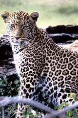 Panthera pardus pardus African Leopard (David A. Hofmann) Tags: feline cat kenya pantheraparduspardus africanleopard mammal