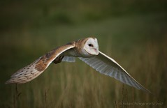 into the sun light (Susan Newgewirtz) Tags: barnowl raptor nikond750 nikkor70200mm bird outdoor ontario c