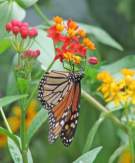 Monarchs - are back !!!