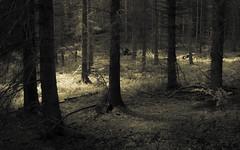 Eifel Forest (Netsrak) Tags: baum bäume wald forst eifel sepia licht schatten natur