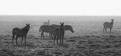 It Was A Misty Morning (AnyMotion) Tags: plainszebra steppenzebra equusquagga morning mist dunst animal animals tiere grassland savannah savanne nature natur wildlife 2011 amboseligamereserve kenya kenia africa afrika anymotion reisen travel 5d2 canoneos5dmarkii bw blackandwhite sw ngc npc