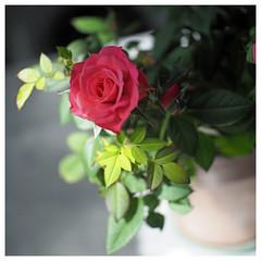 rose carré (LUDOVIC. R) Tags: carré 1x1 zonlai 25 mm18 olympus em10 roses fleurs
