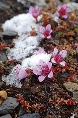 Purple Saxifrage (Baractus) Tags: flower purple saxifrage champ island franz josef land russia john oates sea spirit poseidon expeditions