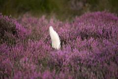 33/52 Raising the Flag (JJFET) Tags: 33 52 weeks for dogs elk border collie sheepdog dog bc littledoglaughedstories