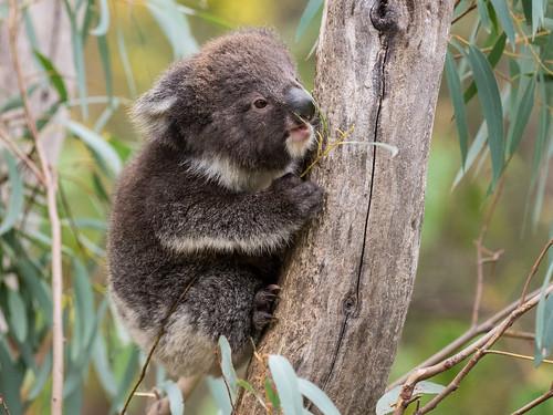 Young Koala (captive)
