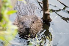 Eating Beaver (littlekiss☆) Tags: beaver eating lostlagoon stanleypark vancouver littlekissphotography canada