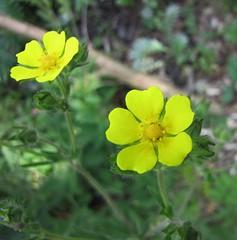 直立委陵菜 Potentilla recta [華沙大學植物園  Warsaw University Botanic Garden] (阿橋花譜 KHQ Flower Guide) Tags: potentilla 薔薇科 rosaceae