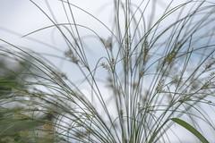 got grass? (Dotsy McCurly) Tags: grasses plant nature beautiful sky clouds dof nikond750 tokinaatxm100prod100mmf28macro nj newjersey 7dwf