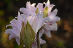 Amaryllis (Traveling with Simone) Tags: flower amaryllis pink bokeh fleur bloom fleuraison light