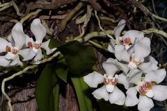 Sarcochilus falcatus (andreas lambrianides) Tags: sarcochilusfalcatus orchidaceae orangeblossomorchid australianflora australiannativeplants australianrainforests australianrainforestplants australianorchids epiphyte lithophyte arfp qrfp nswrfp vicrfp arfflowers whitearfflowers