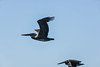 pelicans skimming over the bay (pbo31) Tags: sanfrancisco california nikon d810 color september 2017 summer goldengatenationalrecreationarea blue bay boury pbo31 nature birds pelicans fly flight earth park friends group skim skimming flying brown
