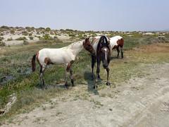Wild horses at Trego Hot Springs (simonov) Tags: nevada desert blackrock playa drylake wild horses mustangs brd