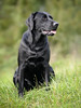 Bichou (uwe.kast) Tags: labrador labradorretriever labradorredriver hund haustier dog bokeh bichou nikon nikond3 d3