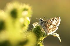 Warming up (speech path girl) Tags: checkeredskipper pyrguscommunis butterfly macro backlight