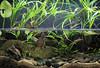IMG_9826 (Laurent Lebois ©) Tags: laurentlebois france reptile rettile reptil рептилия tortue turtle tortoise tortuga tartaruga schildkröte черепаха chelonia sternotherus minor terrariophilie razorbackmuskturtle cinosterne installations aquarium aquaterrarium paludarium vivarium