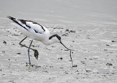 Alfaiate (Recurvirostra avosetta) (Marina CRibeiro) Tags: portugal lisboa lisbon alverca tejo estuáriolimícola alfaiate recursirostraavosetta piedavocet