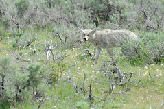 Smiling coyote (John Nefastis) Tags: yellowstone nationalpark national park green forest junction butte lamar valley coyote grin smile grinning smiling wildlife animal