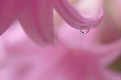Pluie d'août (martine_ferron) Tags: fleur goutte pluie rose amaryllisbelladonne