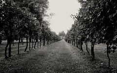 The wineyard (Nelson-V.) Tags: