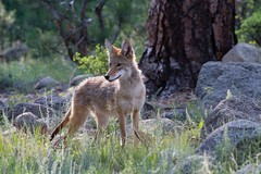 IMG_9770 coyote (starc283) Tags: canon canon7d coyote nature naturesfinest wildlife flickr flicker starc283 predator