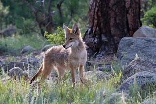 IMG_9770 coyote