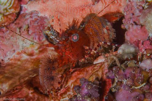 CelebesDivers - underwater 26 (Saron shrimp)