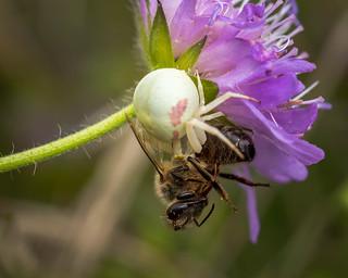 Crab Spider.Misumena Vatia.