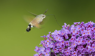Hummingbird Hawk Moth (Macroglossum stellaratum).