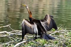 LOX_8139 (Lox Pix) Tags: berrinba queensland qld australia brisbane bridge bird birds turtle pelican wetlands lagoon lake sculpture sulphurcrestedcockatoo duck crane flowers waterdragon lily loxpix loxworx loxwerx l0xpix