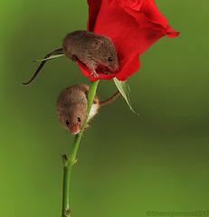 Harvest Mice 6