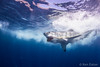 We are gonna need a bigger boat (Ken Eaton) Tags: bite greatwhiteshark guadalupeisland mexico ocean scubadiving shark solomarv