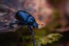 Beetle (hornblower441 (k. m. slenes)) Tags: beetle tordivel geotrupidae scarabaeoidea